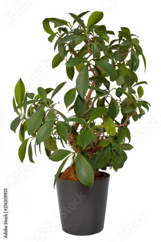 Bonsai Ficus Ginseng in Blumentopf