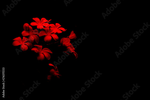 Obrazy one color   plumeria-flower-on-red-and-black-background