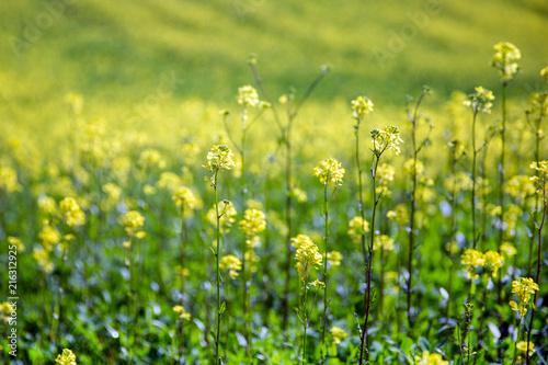 Foto op Aluminium Platteland Field of blooming rapeseed