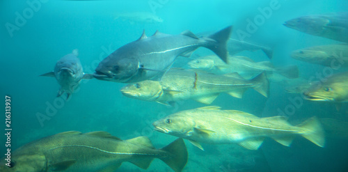 Photo Sea cod fishes floating under water in aquarium