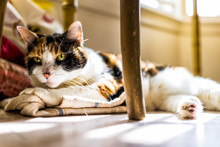 Closeup Of Calico Sleepy Cat Trying To Sleep On Kitchen Towels Under Table On Floor In Room With Soft Sunlight Rays Through Window