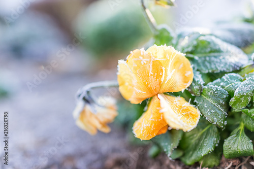 Fotografija Macro closeup of yellow and orange pansy flower with frost ice crystals in winte