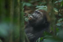 Western Lowland Gorilla - Gorilla Gorilla Dzanga Sangha - Central African Republic