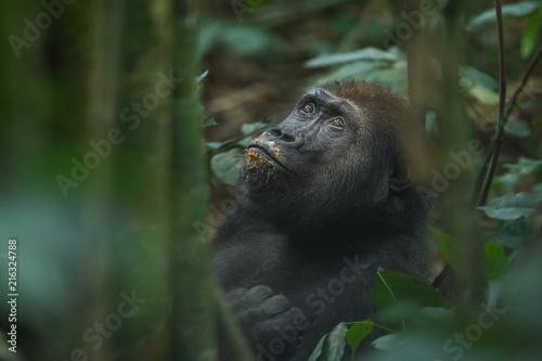 Obraz na plátně Western Lowland Gorilla - Gorilla gorilla Dzanga Sangha - Central African Republ