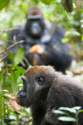 Fotomural Western Lowland Gorilla - Gorilla gorilla Dzanga Sangha - Central African Republ