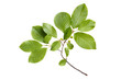 Branch with green leaves, isolated on white background