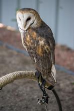 Perched Barn Owl (Tyto Alba) O...