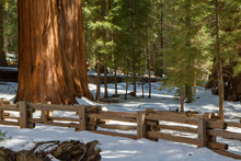 Towering Twin Redwood Trees In Winter In Sequoia National Park