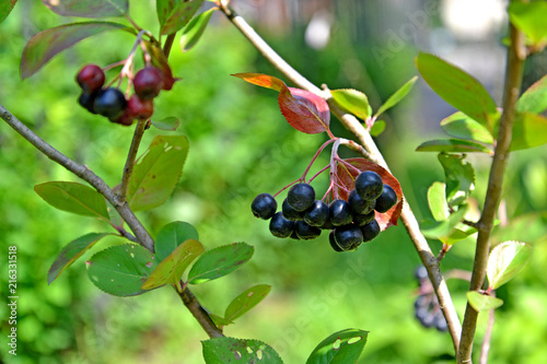 Photo  Branch with berries of an aroniya (mountain ash) black-fruited (Aronia melanocarpa (Michx