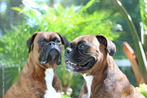 Two Boxer Dogs , Brindle Siblings Poster