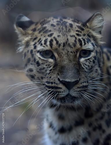 Plakat Zdjęcie męskiego jaguara (Panthera onca)