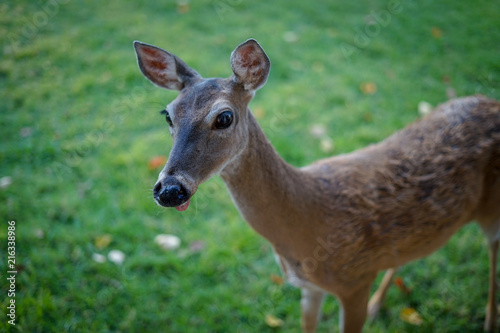 Fotobehang Hert Young female deer sticking her tongue out