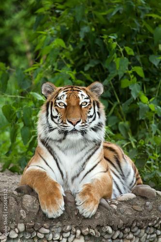 tygrys-syberyjski-panthera-ti