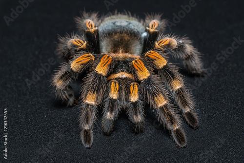 Mexican redknee tarantula (Brachypelma smithi) isolated on black background