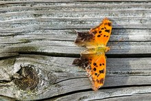 A Question Mark Butterfly Rests On The Rail Of A Wooden Footbridge At Yates Mill County Park In Raleigh North Carolina