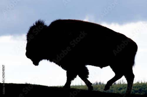 Staande foto Buffel Buffalo Silhouette