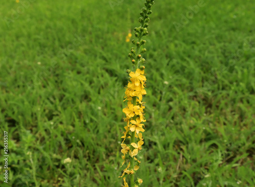 Photo Agrimonia eupatoria, common agrimony, church steeples or sticklewort in the wild