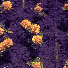 Defocus Autumn Orange Flowers On The Land Of Tagetis Bloom In A Row.