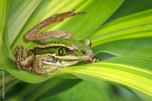 Tuinposter Kikker Image of paddy field green frog or Green Paddy Frog (Rana erythraea) on the green leaf. Amphibian. Animal.