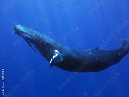 Portrait of a whale while it is swimming in the blue ocean (sea) Wallpaper Mural