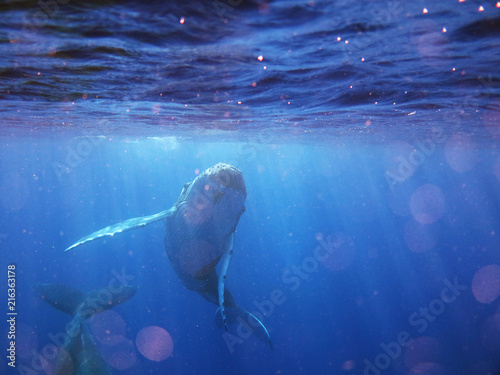 Fotografie, Tablou  Portrait of a whale while it is swimming in the blue ocean (sea)