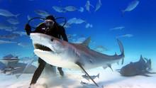 Underwater Shooting Of Sharks ...