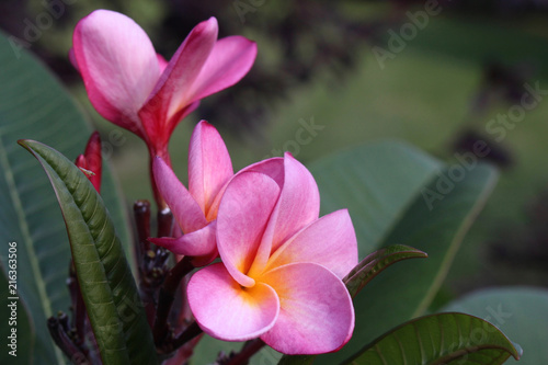 Keuken foto achterwand Frangipani Close-up view of pink color rainbow plumeria (frangipani) blossoms