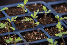 Seedling Of Tomato In Seedling...