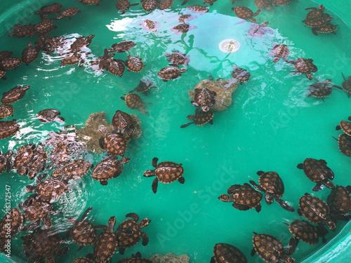Fotografía  Baby Turtles, Tranquility Island, Efate, Vanuatu.