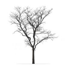 Leafless Tree Isolated White Background