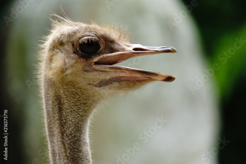Ostrich bird head and neck front portrait in the khaokheow open zoo thailand.