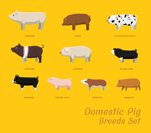 Domestic Pig Breeds Set Cartoon Vector Illustration
