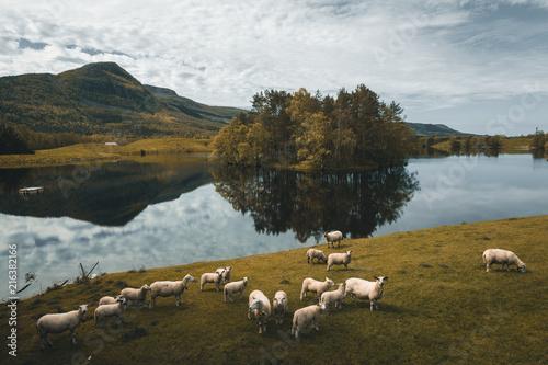 Poster Donkergrijs Norwegian landscape with sheeps
