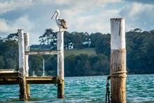 Australian Pelican Pelecanus Conspicillatus On A Post At Sunset In Narooma, New South Wales