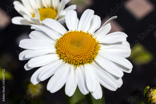 Leucanthemum 'Snow Lady' a spring summer flowering plant commonly known as Shasta daisy