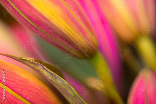 Aluminium Prints Macro photography Fuchsia Asiatic lillies, macro