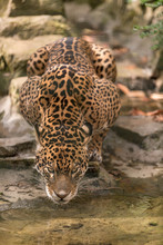 Male Jaguar Drinking