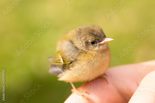 Deurstickers Vogel Friendly baby bird on the hand
