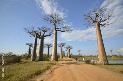 In de dag Baobab Baobab trees in Madagascar, Africa