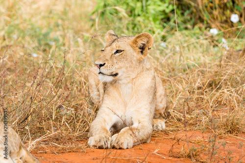 Zdjęcie XXL Lwy w Kenii, w Afryce