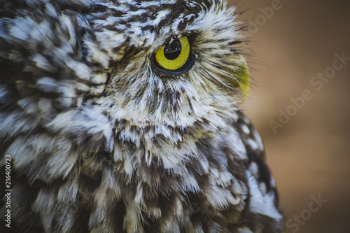 Spoed Foto op Canvas Uil nocturnal, cute little owl, gray and yellow beak and white feathers