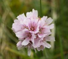 Macro Close Up Single Sea Thrift Pink Flower (Armeria Maritima), Selective Focus, Green Bokeh Background