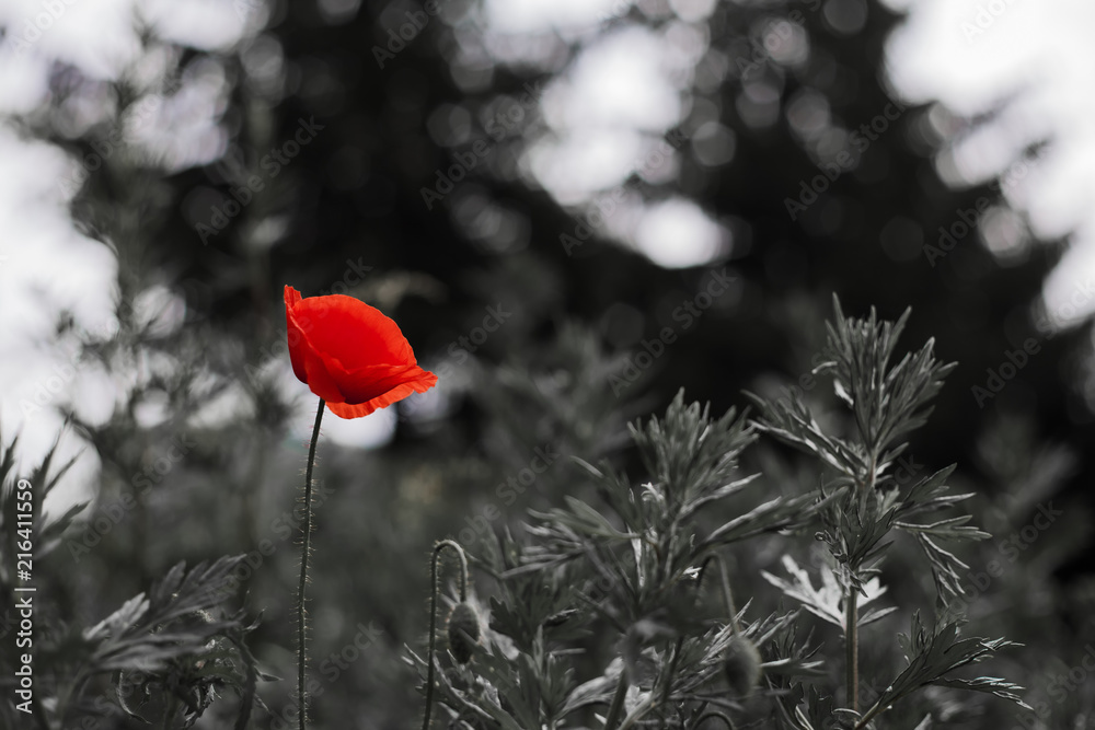 One red poppy on a black and white background.