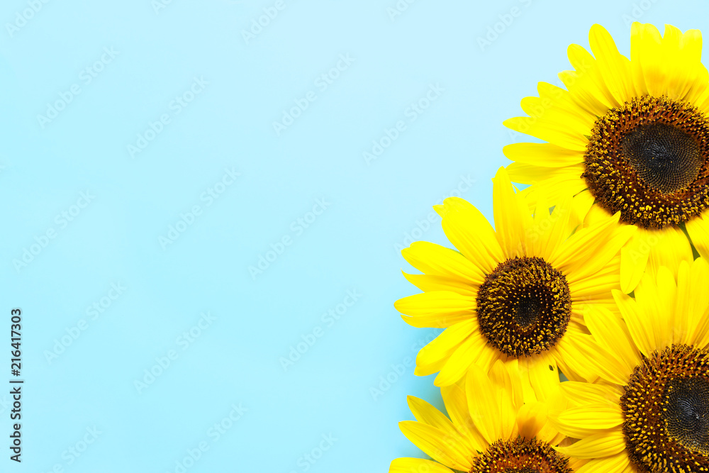 Beautiful bright sunflowers on color background, top view