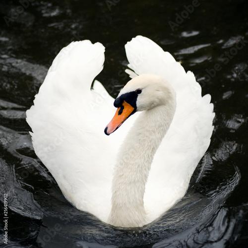 Fotobehang Zwaan swimming white swan