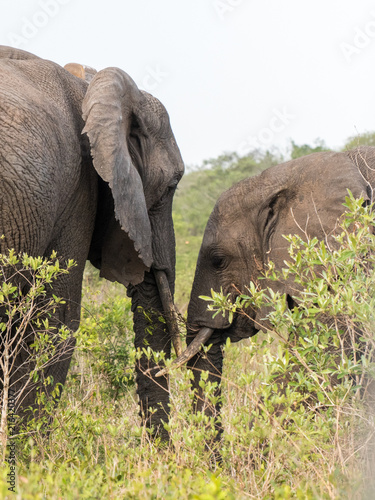 A young African Elephant and parent face to face while grazing in Tembe Elephant Poster