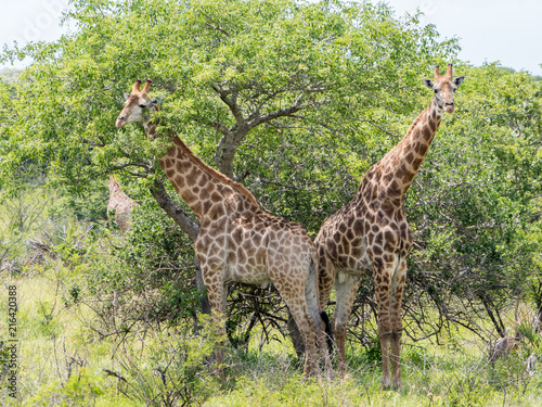 Giraffes stand as tall as the tree they are browsing in iSimangaliso Wetlands Pa Poster