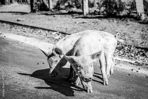 Fotografie, Obraz  Corsican pigs