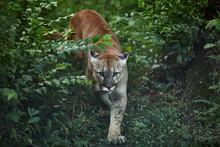 Portrait Of Beautiful Puma. Co...