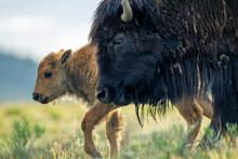 Bisonte Femmina Con Cuccioli Nel Parco Nazionale Di Yellowstone In Wyoming, Stati Uniti D'America